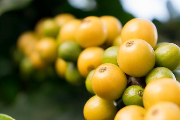 Chiuda in su dei chicchi di ciliegia crudi e maturi gialli organici freschi del caffè