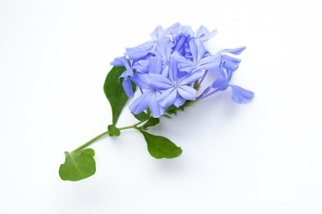 Chiuda in su dei fiori blu su bianco