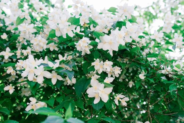 Chiuda in su dei fiori del gelsomino in un giardino