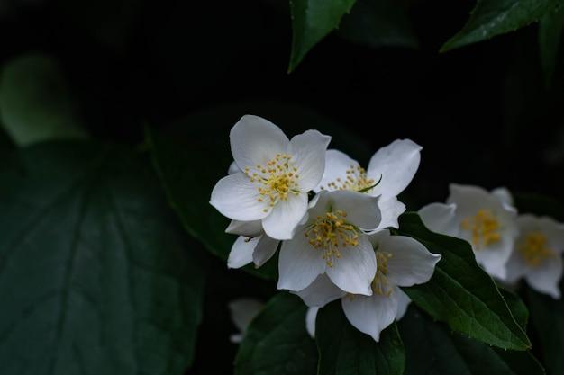 Chiuda in su dei fiori del gelsomino in un giardino.