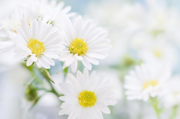 Chiuda in su dei fiori della margherita bianca sulla priorità bassa del cielo blu con il tono morbido dell'annata