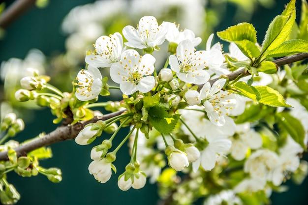 Chiuda in su dei fiori di fioritura della ciliegia