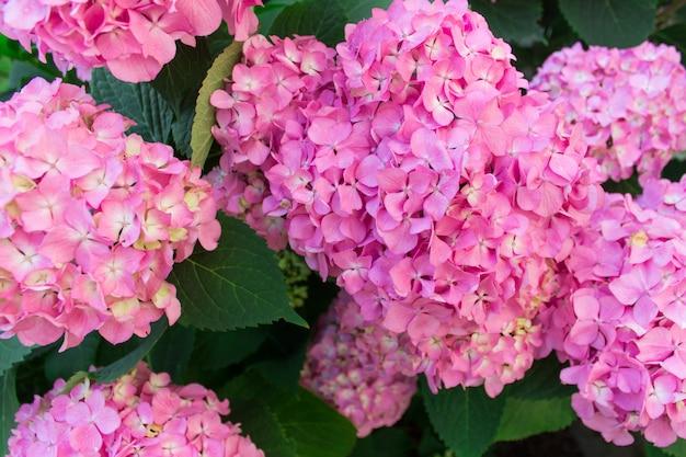 Chiuda in su dei fiori di hortensia dell'ortensia