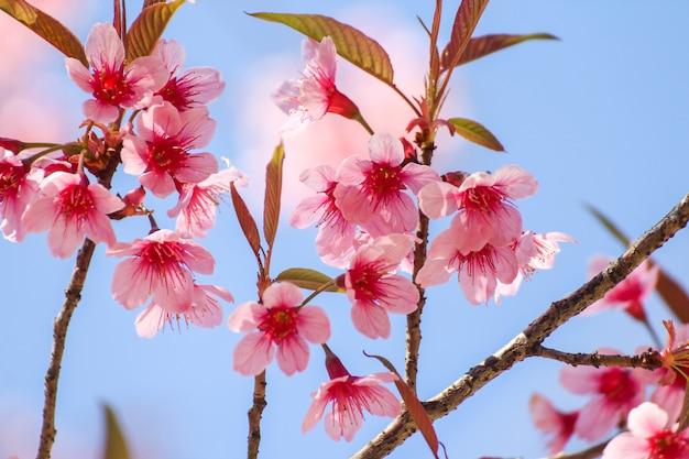 Chiuda in su dei fiori selvaggi della ciliegia dell'himalaya o sakura