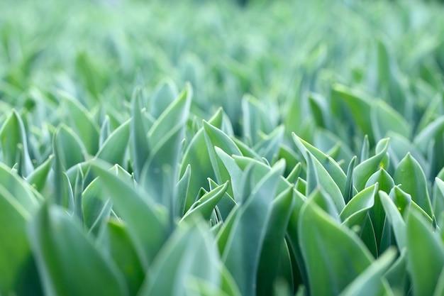 Chiuda in su dei fogli verdi dei tulipani sul campo