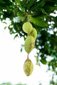 Chiuda in su dei manghi su un albero di mango
