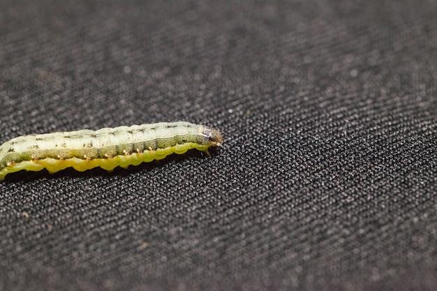 Chiuda in su del armyworm della barbabietola su priorità bassa nera