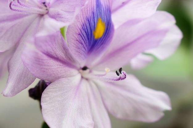 Chiuda in su del fiore di eichhornia crassipes