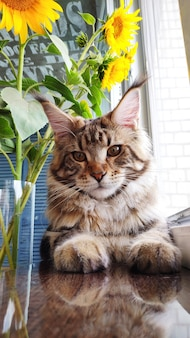 Chiuda in su del gattino lanuginoso di maine coon