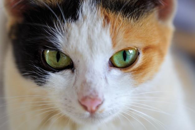 Chiuda in su del gatto siamese eyed sveglio