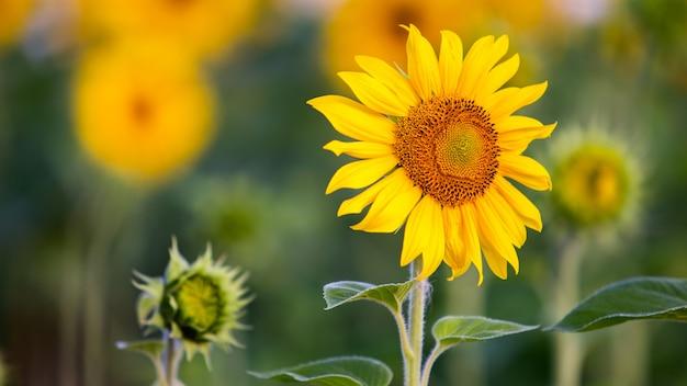 Chiuda in su del girasole giallo nel campo verde dell'estate.