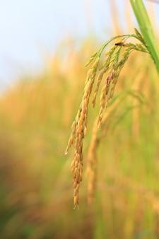 Chiuda in su dell'erbaccia fresca nelle risaie