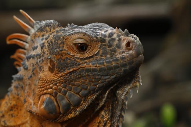 Chiuda in su dell'iguana rossa