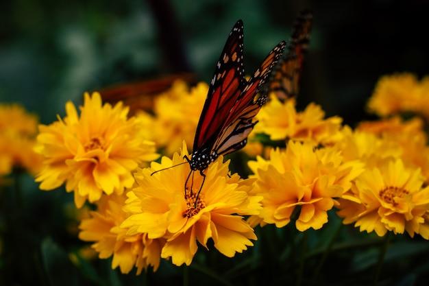 Chiuda in su della farfalla di monarca posseduta sui fiori gialli del giardino
