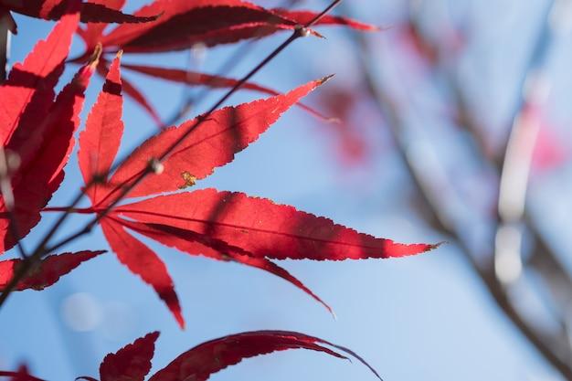 Chiuda in su della foglia di acero rossa di autunno con cielo blu-chiaro.