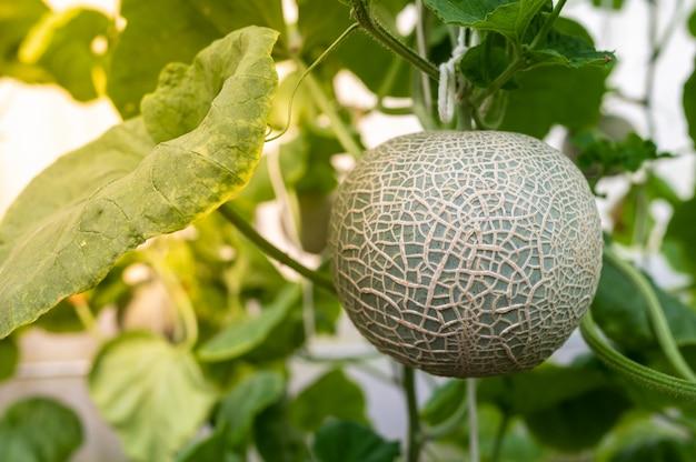 Chiuda in su della frutta del melone con i fogli nell'azienda agricola