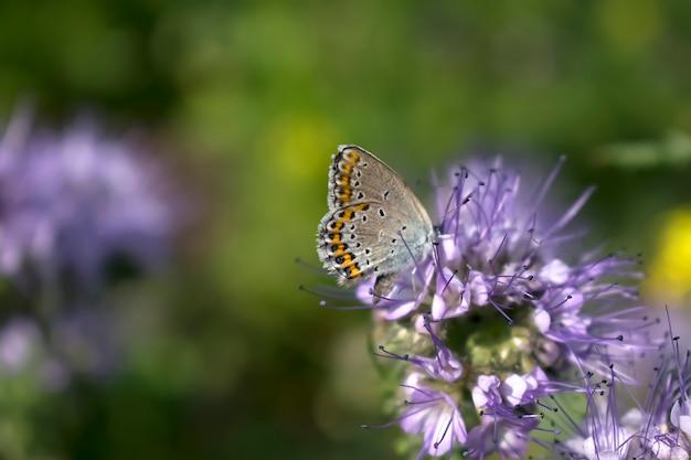 Chiuda in su della piccola farfalla marrone sulla pianta del fiore viola in prato, bandiera della natura macro con lo spazio della copia.