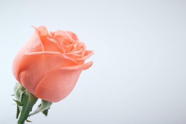 Chiuda in su della rosa confusa di colore rosa su bianco
