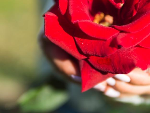 Chiuda in su della rosa rossa adorabile