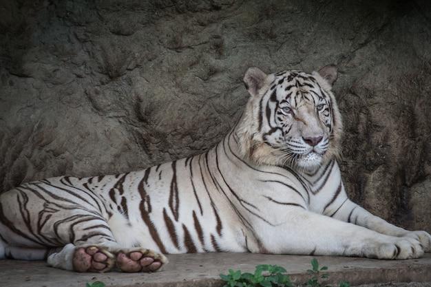 Chiuda in su della tigre bianca di menzogne
