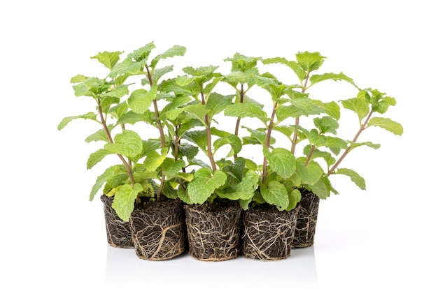 Chiuda in su delle piante di menta piperita fresche verdi con terreno
