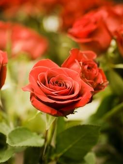 Chiuda in su di belle rose rosse