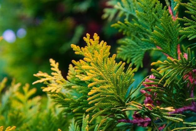 Chiuda in su di colore giallo e verde dei fogli del ginepro.