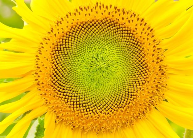 Chiuda in su di fioritura del girasole fioritura del concetto di natura di agricoltura biologica
