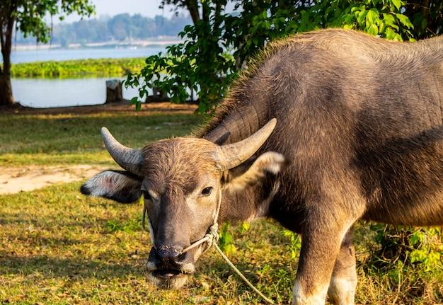 Chiuda in su di giovane bufalo all'azienda agricola di mattina.