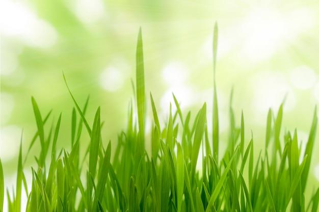 Chiuda in su di giovani piante verdi del grano e sole su priorità bassa