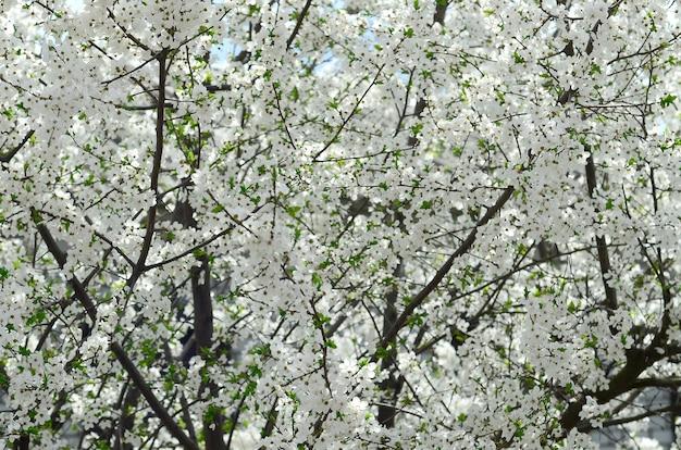 Chiuda in su di melo verde sbocciante con i fiori bianchi