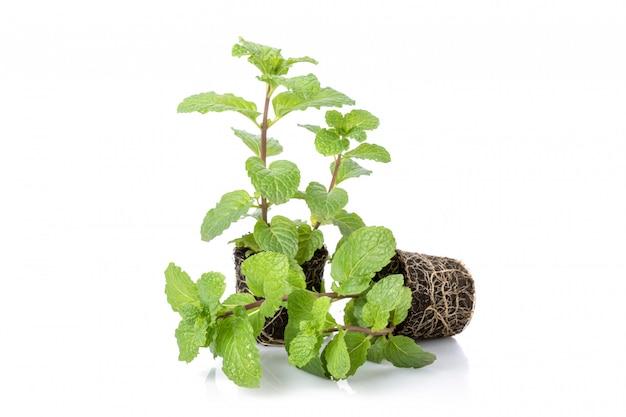 Chiuda in su di menta piperita fresca verde con terreno