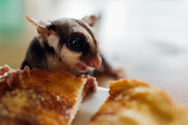 Chiuda in su di sugar glider sveglio mangia pane.