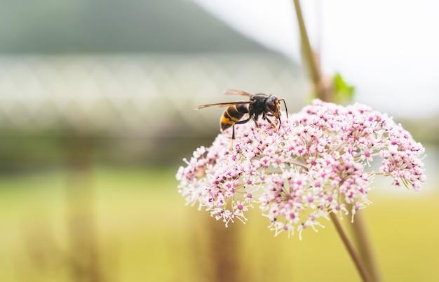 Chiuda in su di un'ape del miele che mangia sul fiore viola.