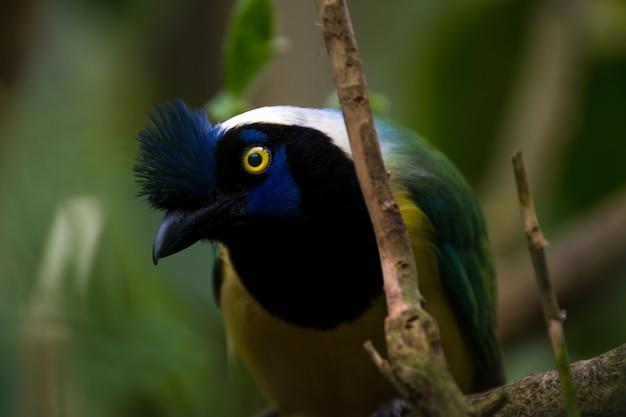 Chiuda in su di una ghiandaia verde (cyanocorax yncas), uccello blu con gli occhi gialli