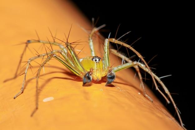 Chiuda in su il ragno giallo è insetto in natura alla tailandia