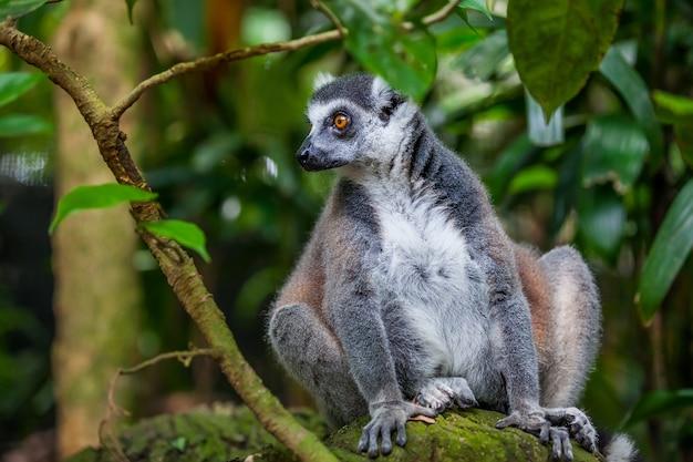 Chiuda in su lemure catta