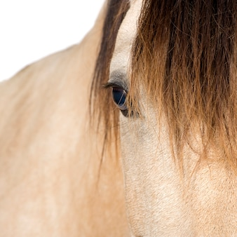Chiuda in su su un cavallo su un bianco isolato.
