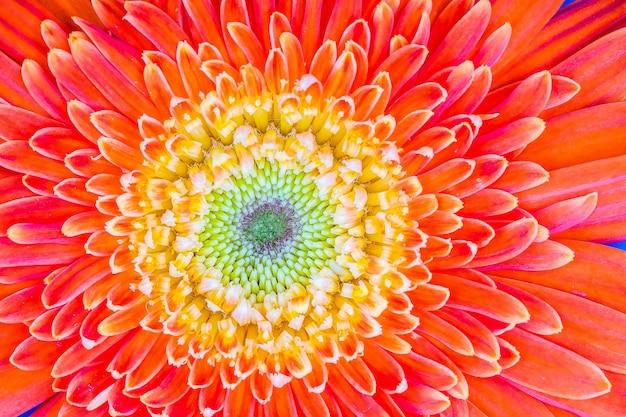Chiuda in su sul fiore della gerbera