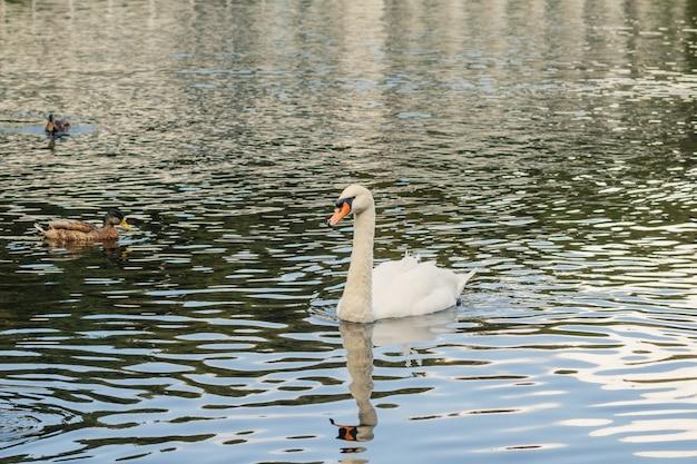 Chiuda in su sul nuoto bianco del cigno nel grande stagno ondeggiante chiaro