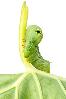 Chiuda in su sul verme di caterpillar