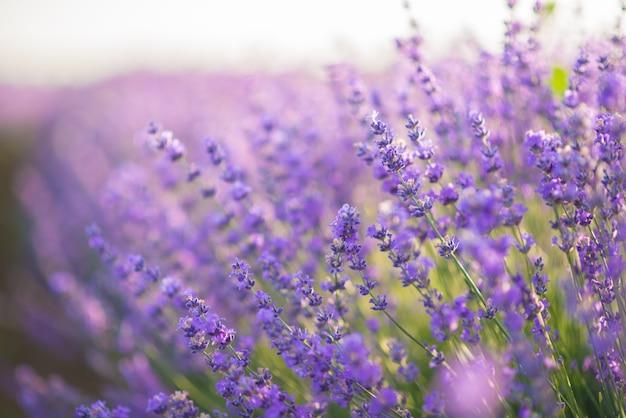 Chiuda su dei fiori della lavanda in un giacimento della lavanda nell'ambito della luce dell'alba