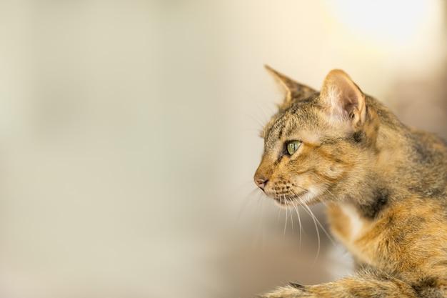 Chiuda su del gatto marrone dei peli di scarsità che guarda alla parte di sinistra con lo spazio della copia. usando come sfondo di animali e animali selvatici o carta da parati