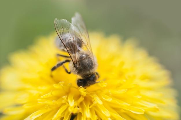 Chiuda su dell'ape che raccoglie il miele su un dente di leone giallo del fiore