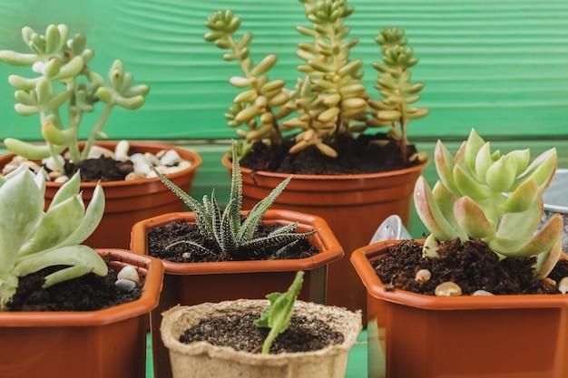 Chiuda su della raccolta succulente della pianta domestica sulla tavola di legno