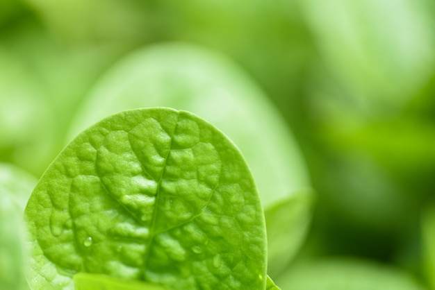 Chiuda su delle foglie verdi della natura nel giardino con il fuoco molle e la foglia della sfuocatura
