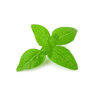Chiuda su delle foglie verdi fresche dell'erba del basilico isolate su fondo bianco. dolce basilico genovese.