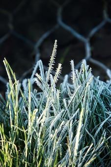 Chiuda su delle lame di erba congelate alla luce solare di primo mattino
