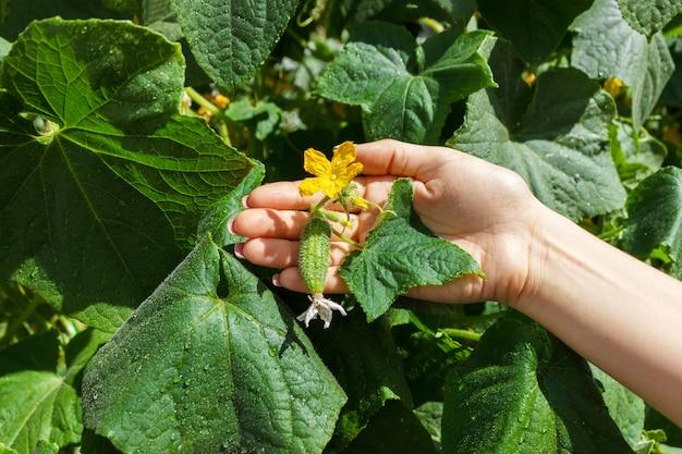 Chiuda su delle mani fresche del coltivatore della donna anziana controllano i cetrioli.