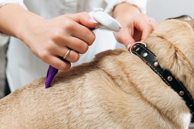 Chiuda su di carlino che si trova sulla tavola dell'esame alla clinica del veterinario mentre il groomer o il veterinario professionista che pettina la sua pelliccia. groming di un carlino.